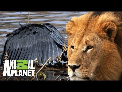 Los depredadores de África en acción | Ríos de África | Animal Planet
