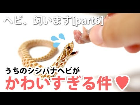 ヘビ、飼います[part6]うちのシシバナが可愛すぎる件