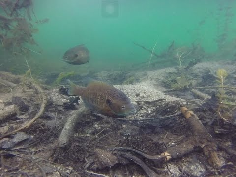 Fishing for BlueGill (under water view) : Gopro Hero
