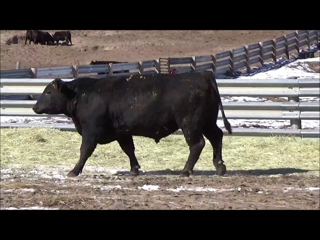 Connealy Angus Lot 511