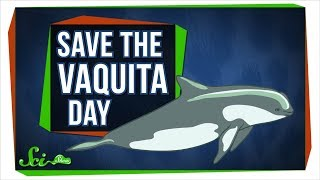We Probably Can't Save the Vaquita—But We Can Learn From Them Mp3