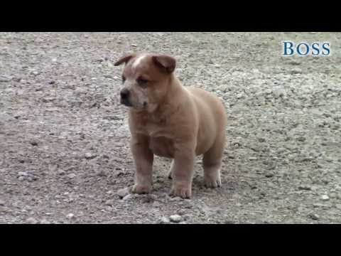 Boss-AKC Working Australian Cattle Dog Puppy
