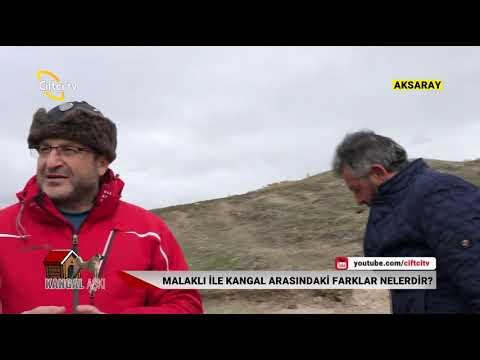 KANGAL AŞKI / Aksaray Malaklısı' nın Yetiştiriciliği - Çiftçi TV