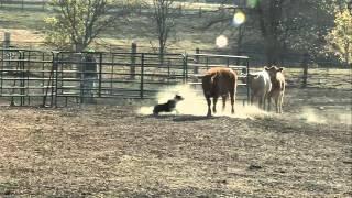 2011 Se Iowa Cattle Dog Trials Trailer