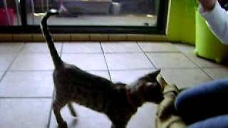 http://ikkyusojuncat.blogspot.com Bengel kitten doing sit, high fiv...