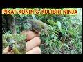 Suara Burung Ribut Suara Pikat Konin Dan Kolibri Ninja Suara Burung Ribut Masteran  Mp3 - Mp4 Download