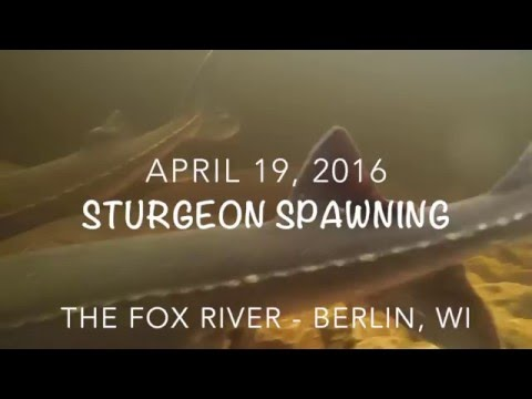 Sturgeon Spawning on the Fox River- Berlin, Wi