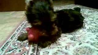 Yorkshire Terrier Puppy Playing