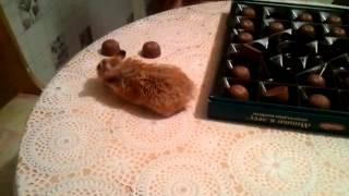 Маленький рыжий хомяк Луша собирает конфеты в коробку