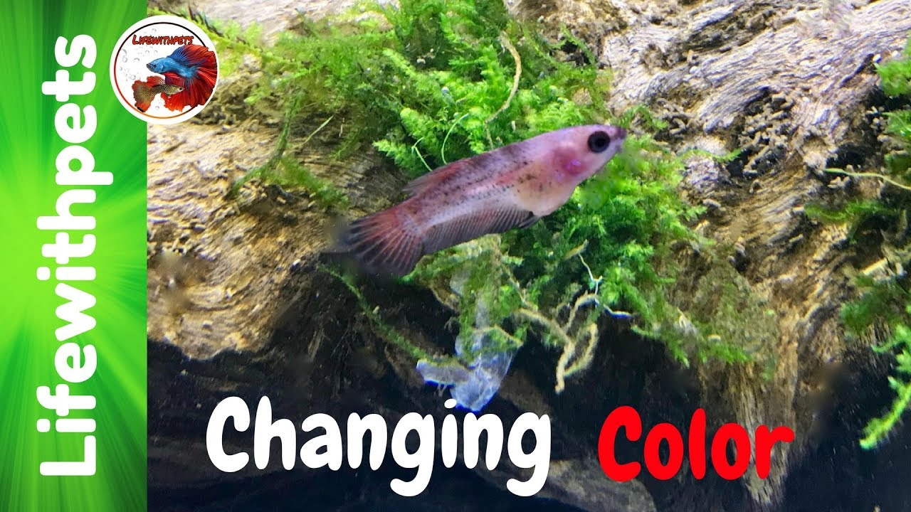 Betta Fish Fry Changing Color and Moving Tanks - YouTube