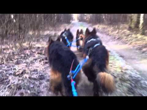 GSD - German Shepherd sled team