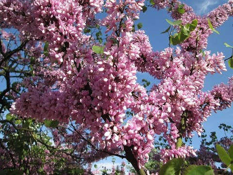 Amazing And Most Beautiful Cercis Tree Flowers   Redbuds