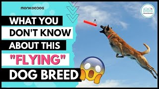 Top Facts about BELGIAN MALINOIS  dog will make you Love ❤ this breed. II Monkoodog II