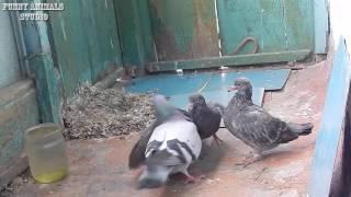 Голуби - Голубь и голубка кормят птенцов - Голубиная сага - 10 эпизод