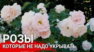 Розы которые не надо укрывать Парковые розы - 100 зимостойкость