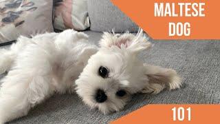 Perro maltés  Cuidados básicos y características.