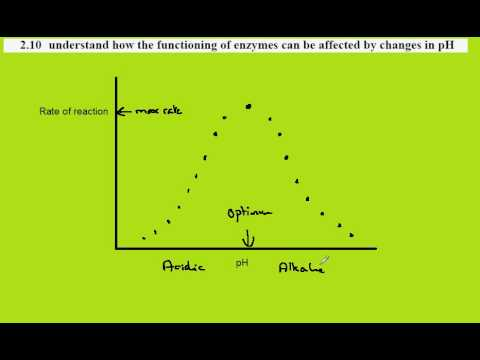 investigating how ph effects the enzyme Factors affecting enzyme activity the activity of an enzyme is affected by its environmental conditions different enzymes have different optimum ph values.