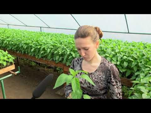 Рассада перец в теплице. От первого лица, фермер делится опытом выращивание перца на БИО удобрениях | микроелементы | аминокислоты | современные | технологии | удобрение | картофель | культуры | рассада | овощные | огурец