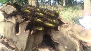 Пчёлы в дупле дерева