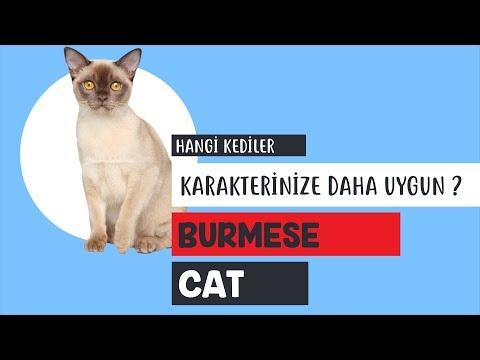 Burmese kedisinin özellikleri neler?