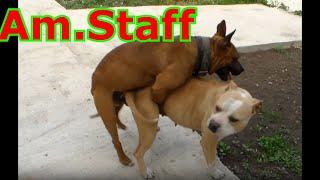 Вязка собак, Бойцовый Амстафф в деле, собачья свадьба.