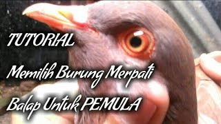 TUTORIAL memilih Burung Merpati Balap || tips and trick