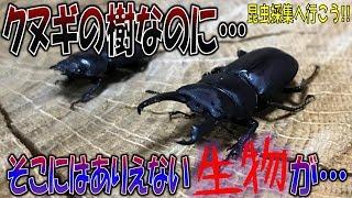 クワガタ&カブトムシ☆昆虫採集2017 クヌギの樹にあり得ない生物が・・...