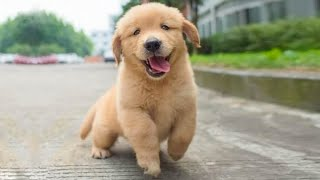 Funniest & Cutest Golden Retriever Puppies - 30 Minutes of Funny Puppy Videos 2021 #4