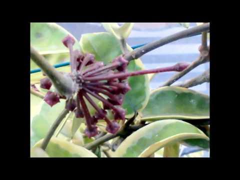 Vainas y semillas hoya carnosa (flor de la cera)