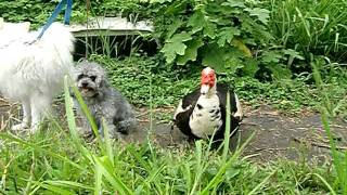 Duck Saying Hi To Dogs At Doggie Boot Camp With Balanced Obedience Dog And Puppy Training Of Hawaii