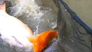 Ikan Kolam Hop 1 Opa Daud Padang Bontang