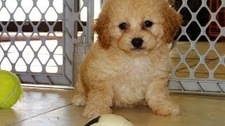 Cockapoo, Puppies, For, Sale, In, Bridgeport, Connecticut, Ct, Newington, Manchester, Naugatuck, To