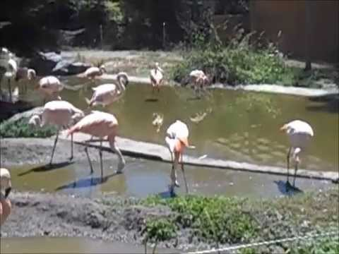 Pink Flamingos at the Sequoia Park Zoo, Eureka 7/7/15