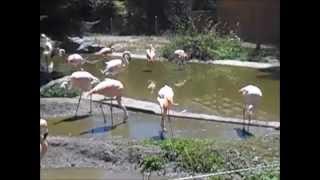 Pink Flamingos at the Sequoia Park Zoo, Eureka 7/7/15