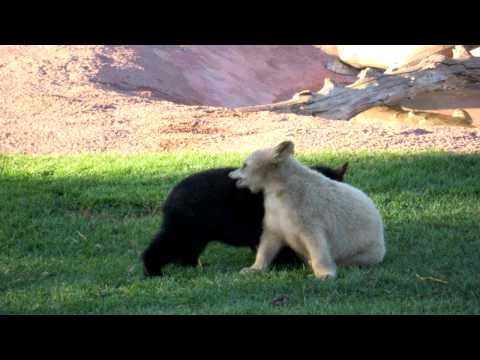 Cute baby bears playing in the nature