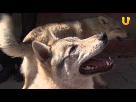 Глазами животных, выпуск 103. Чехословацкие волчьи собаки.