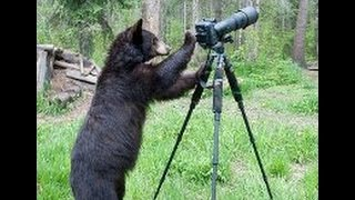 Медведь поправил камеру наблюдения, сбитую медвежатами(Бурый медведь восстановил положение видеокамеры, установленной в Хинганском заповеднике в Амурской облас..., 2015-06-08T05:42:37.000Z)