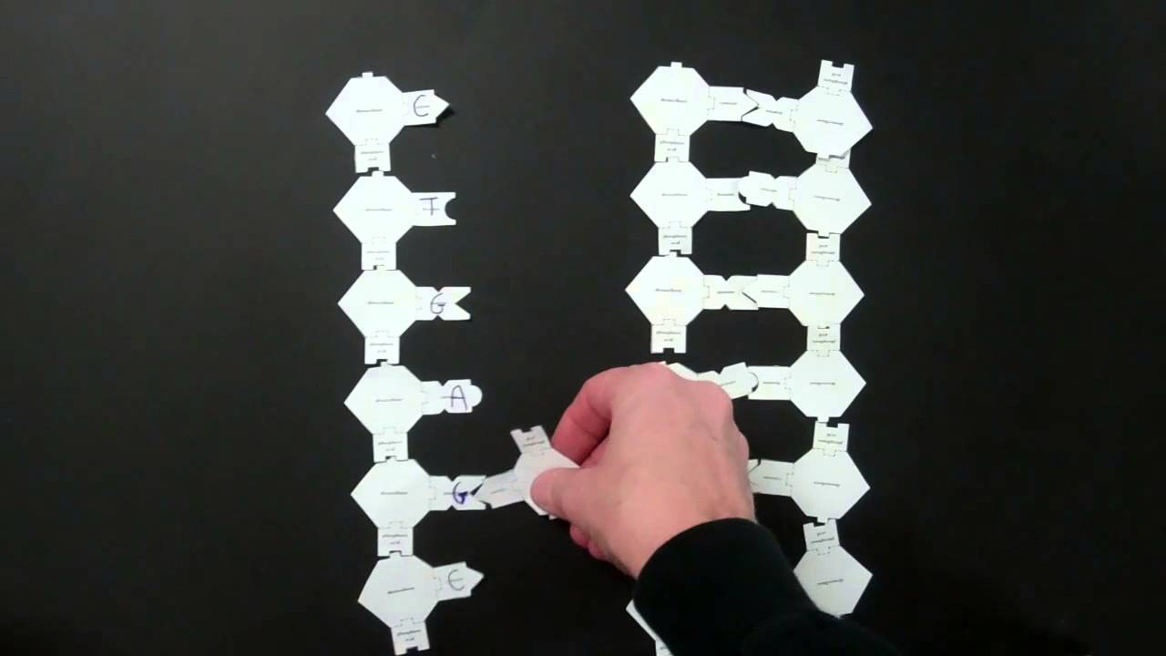 Papercraft DNA Replication Lab using paper models (2)