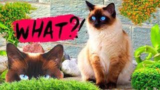 What You Need To Know About Siamese Cats! Cat Facts!