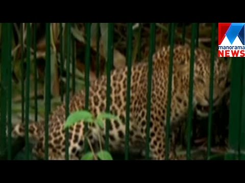 Leopard Captured By Forest Department  | Manorama News