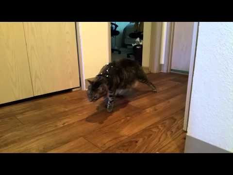 [Haiku] Cat Wears Harness for the First Time