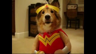 Cute Sheltie - In Halloween Costumes (ginger Dog)