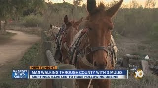 Man spotted walking around San Diego County with 3 mules
