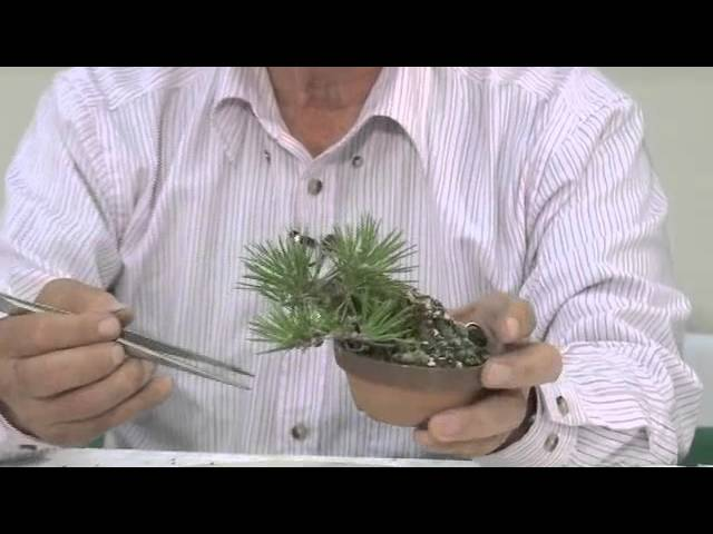 三浦清恵津 小品盆栽、松柏類の整枝