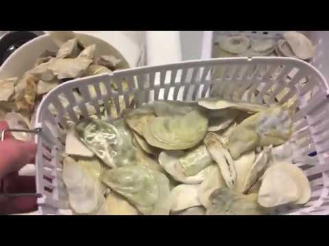 Cleaning Oyster Shells Using the ISonic Ultrasonic Cleaner