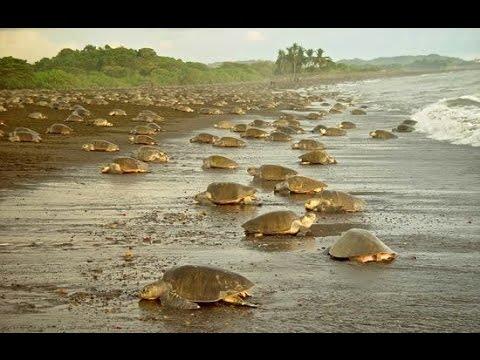 Olive Ridley Turtle Arribada, Costa Rica