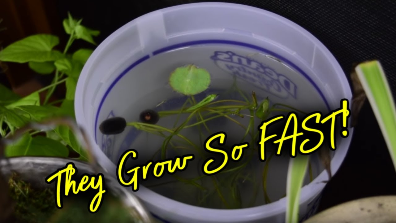 How To Plant A Lotus Seed Pt 3 Youtube