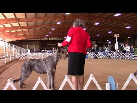 10-28-2017 Saline County Kennel Club -  Irish Wolfhounds