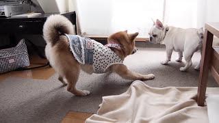まだ犬同士でちゃんと遊ぶことができないこうめさんに、柴犬:小豆さん...