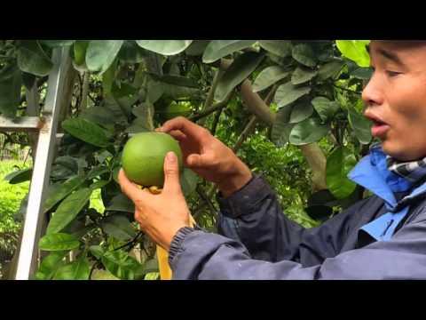 Kỹ thuật phòng trừ sâu bệnh trên cây bưởi tháng2- 3-4